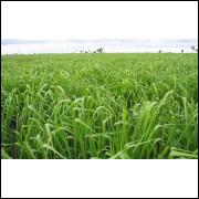 Capim mombaça cultivar panicum MG5 100kg